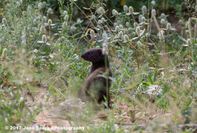 dwarf-mongoose_1web