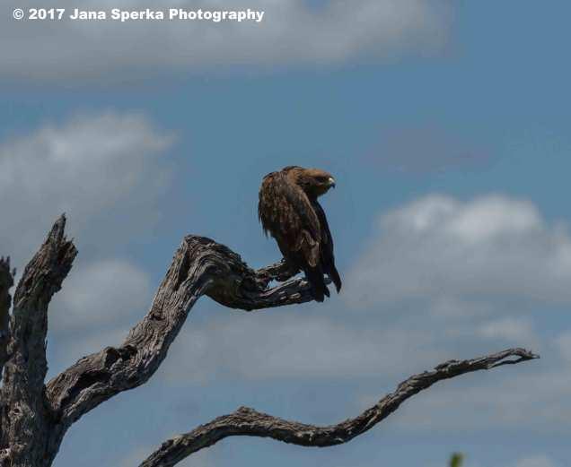 eagle-vultureweb
