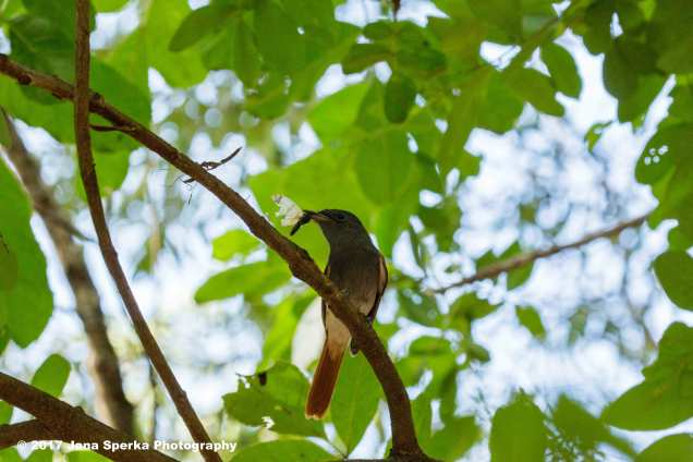 flycatcher-and-his-lunchweb