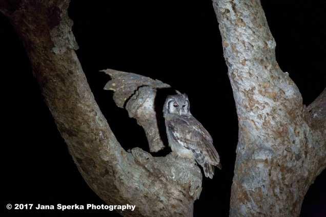 giant-eagle-owlweb