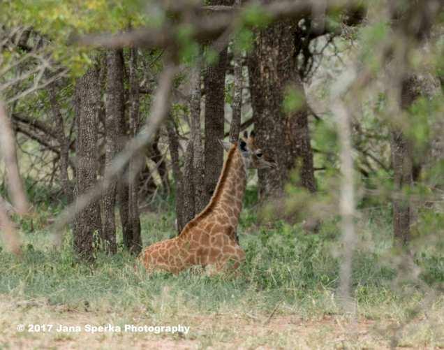 giraffe-napweb