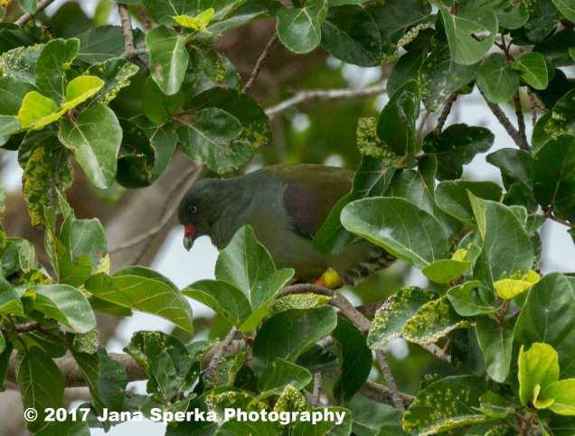 green-headed-pigeon_1web