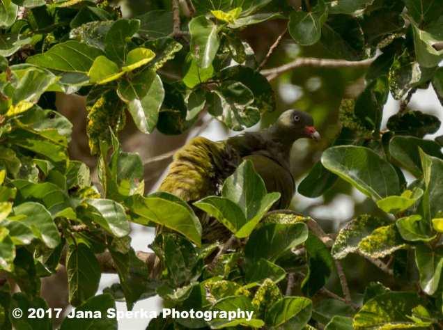green-headed-pigeonweb
