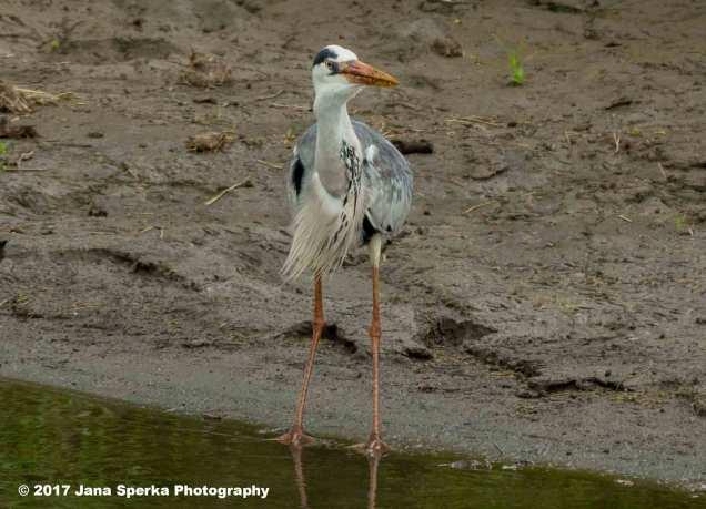 grey-heron-with-catfish_1web