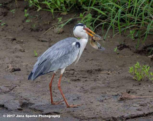 grey-heron-with-catfishweb