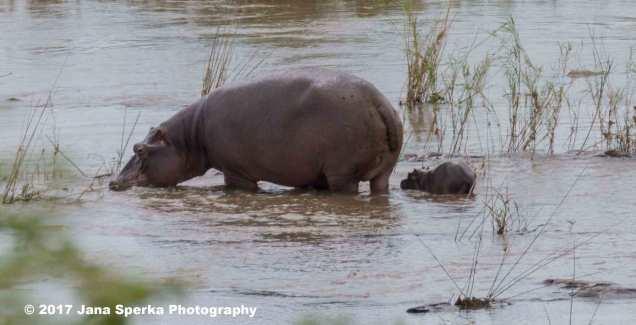 hippo-baby_1web