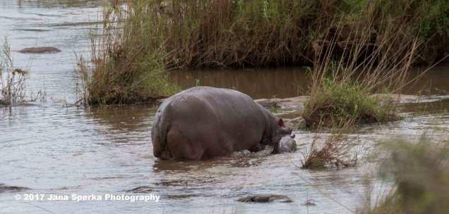 hippo-babyweb