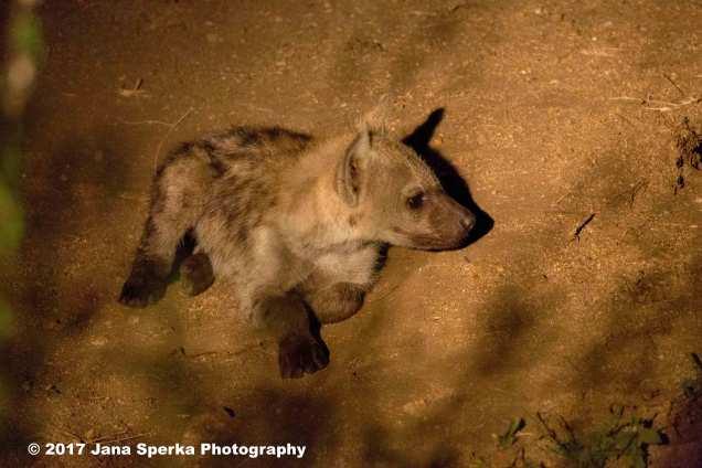 hyena-cubweb