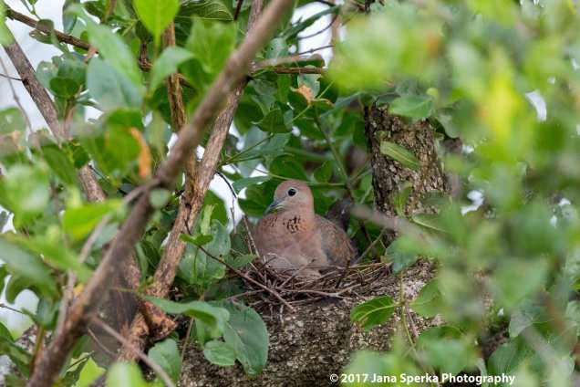 laughing-dove-nestweb