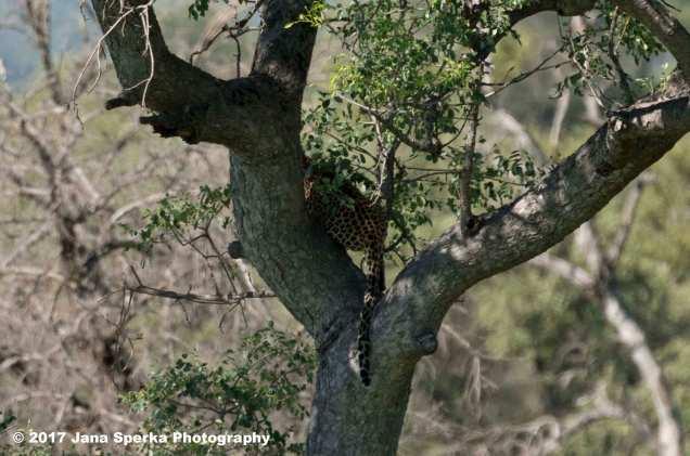 leopard-butt_1web