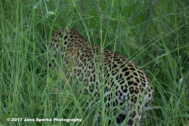 leopard-buttweb