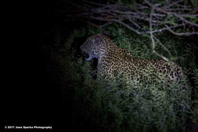 leopard-campweb