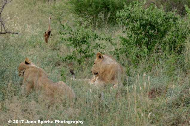 lion-young-male-envyweb