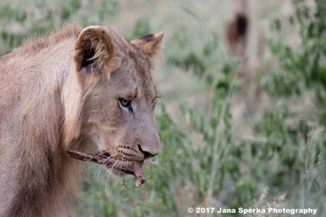 lion-young-male-left-oversweb