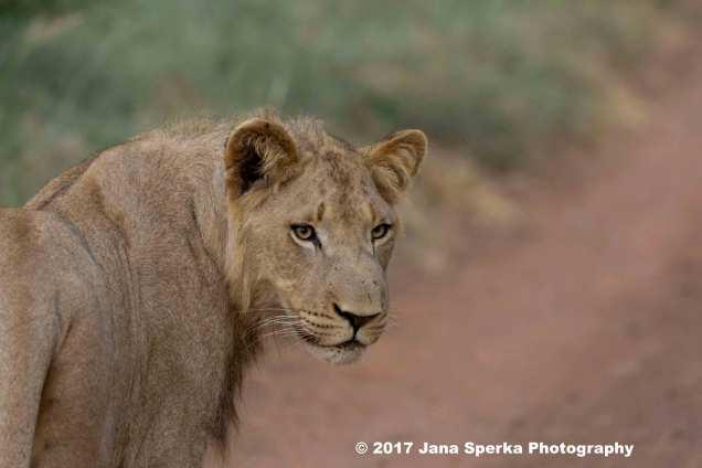 lion-young-maleweb