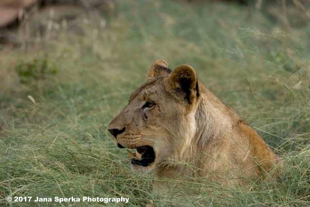 lioness_2web
