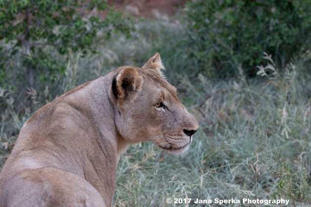 lionessweb