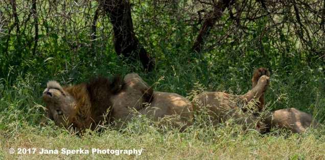 lions_1web