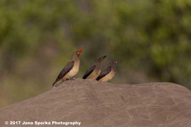 oxpecker-and-juvenileweb