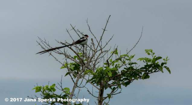 pin-tailed-whydahweb