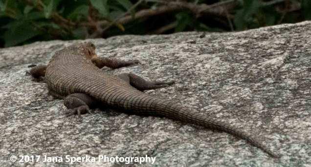 platted-lizardweb