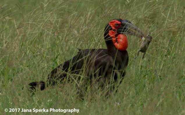 southern-ground-hornbillweb