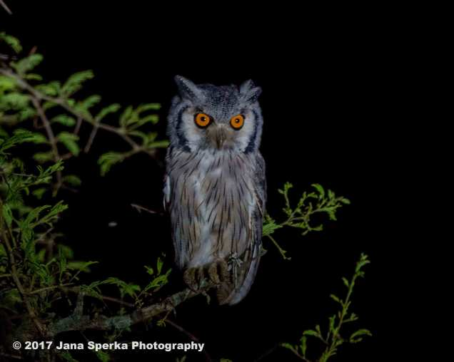 southern-white-faced-scops-owlweb