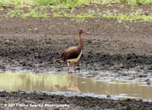 spur-winged-gooseweb