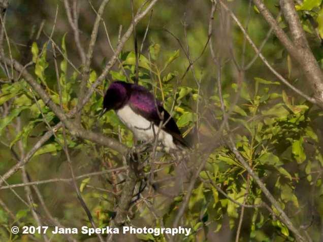 violet-backed-starling_1web