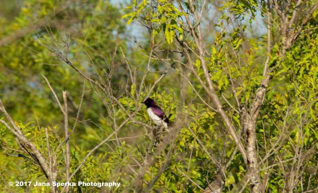 violet-backed-starlingweb