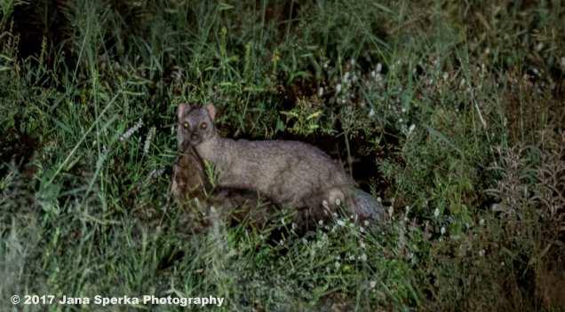 white-tailed-mongoose_1web