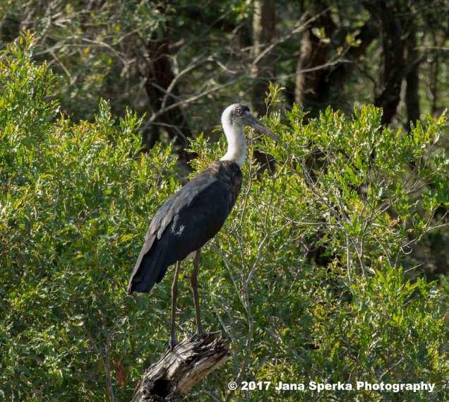 wooly-necked-storkweb