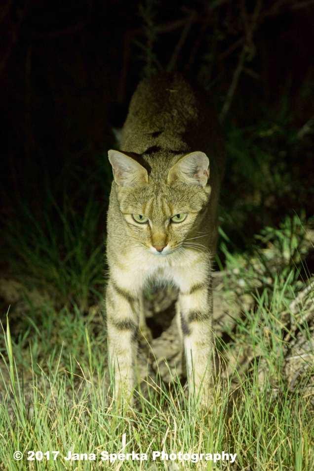 African-Wild-Cat-huntingweb