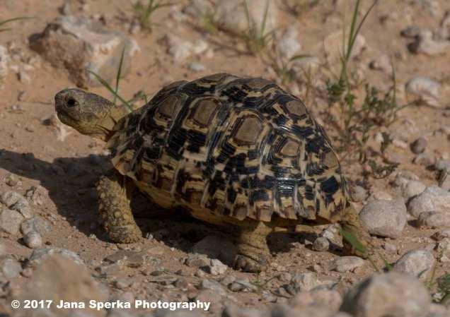 Baby-Leopard-Tortoiseweb