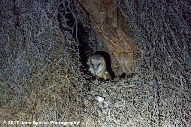 Barn-Owl-in-Sociable-Weaver-nestweb