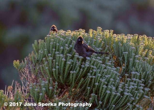Cape-Bulbulweb