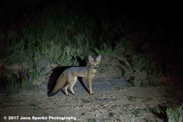 Cape-Fox---goodweb