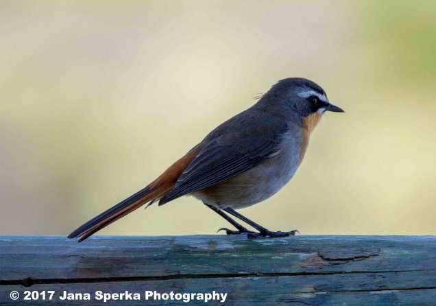 Cape-Robin-Chatweb