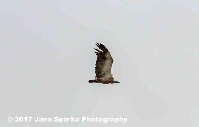 Cape-Vultureweb