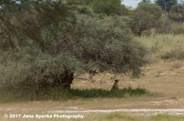 Cheetah-and-treeweb