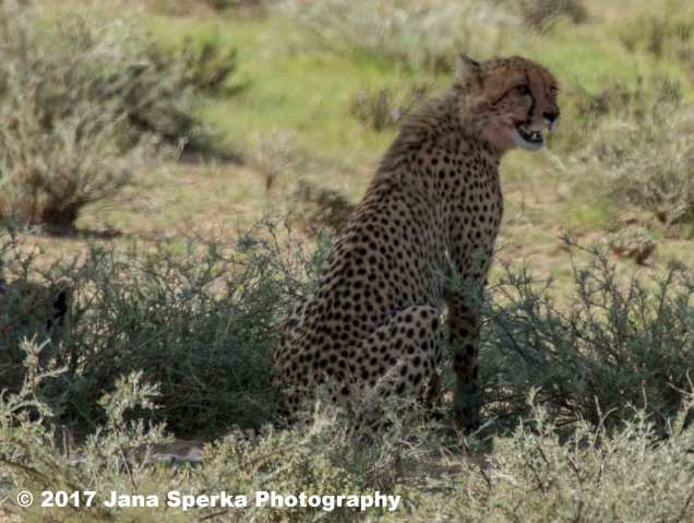 Cheetah-cub-bloody-faceweb