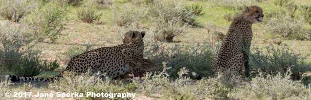 Cheetah-cub-greedy-gutsweb