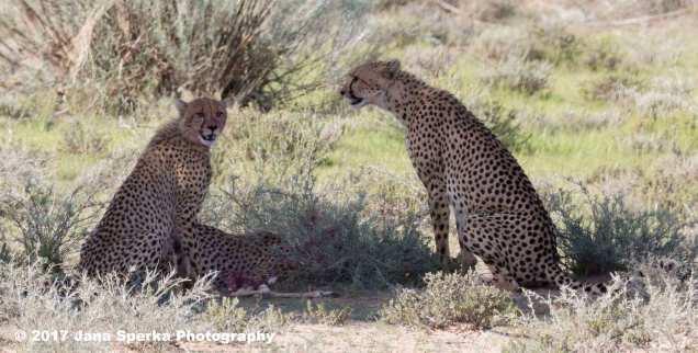 Cheetah-cub-happy-bellyweb