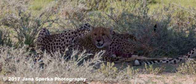 Cheetah-cubweb