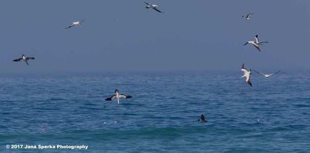 Dive-bomb-birds---Cape-Gannet_1web