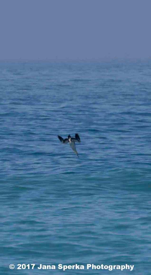 Dive-bomb-birds---Cape-Gannet_2web