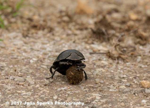 Dung-Beetle-sad_1web