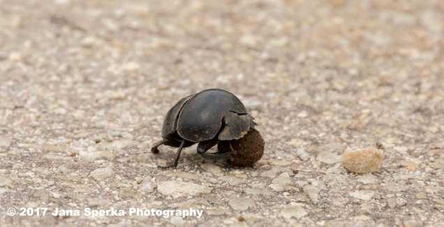 Dung-Beetle-sadweb