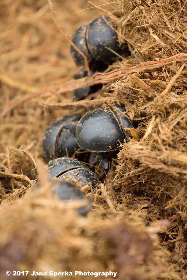 Dung-Beetlesweb