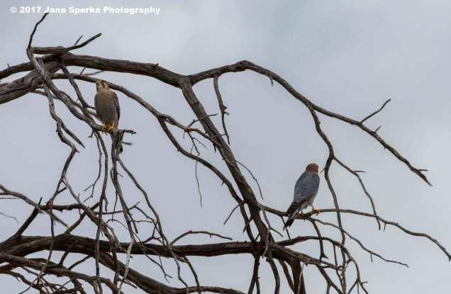Falcon-Red-Necked_1web